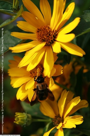 Heliopsis_helianthoides_var 1
